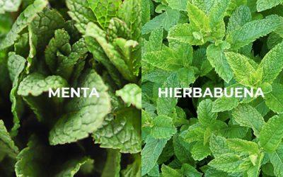 Diferencias entre menta y hierbabuena