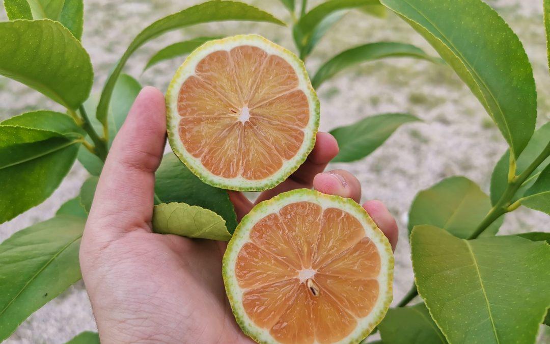 Limon rosa cortado por la mitad sobre hojas de naranjo